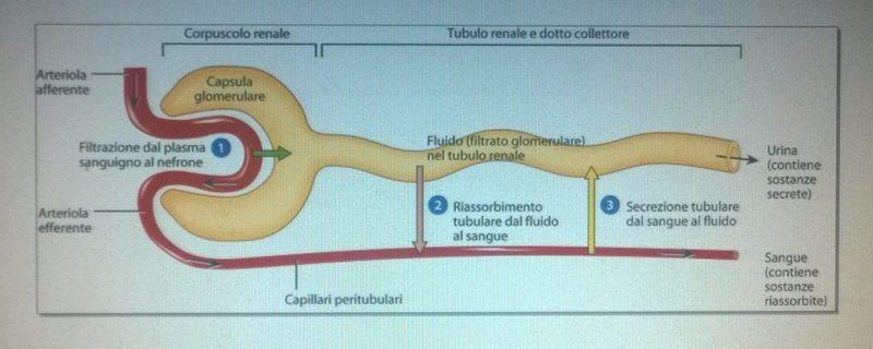 nefrone: unità funzionale del rene