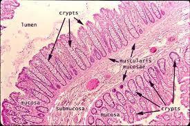 cripte del colon, immagine da www.proprofs.com