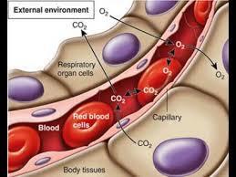 globuli rossi ematosi