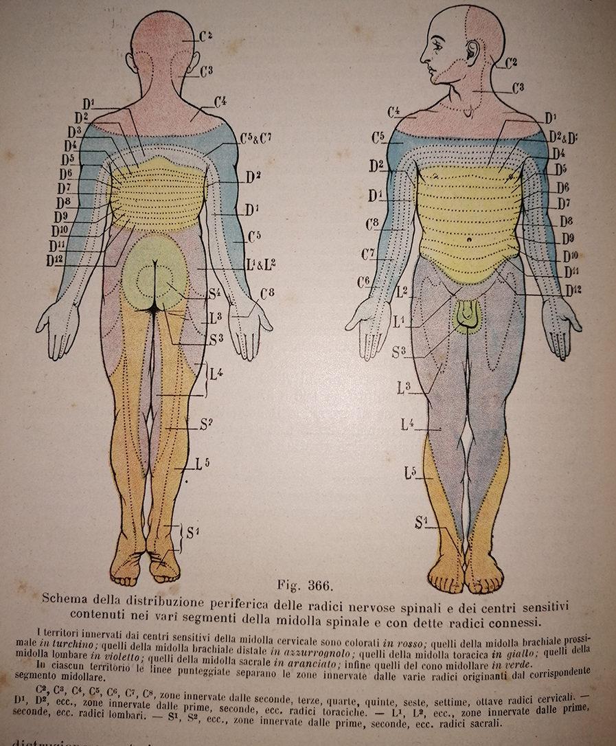 distribuzione periferica radici nervose spinali e dei centri sensitivi