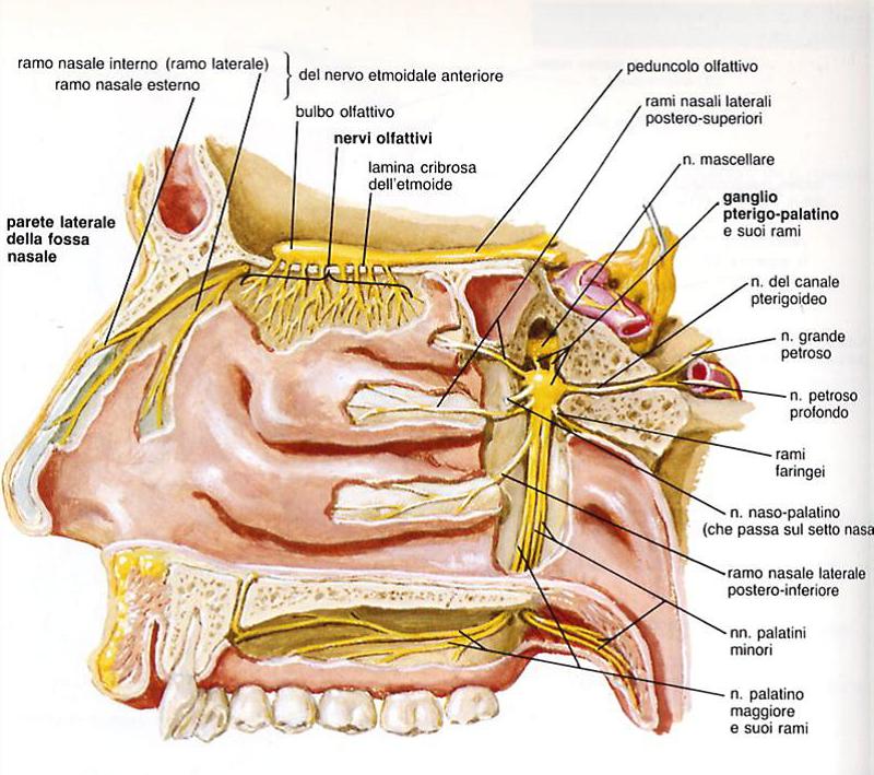 le funzioni del I° nervo cranico: olfattorio, sensitivo puro