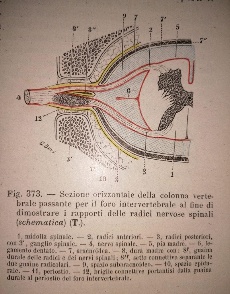 sezione orizzontale della colonna v. e del midollo sp. con le radici nervose spinali