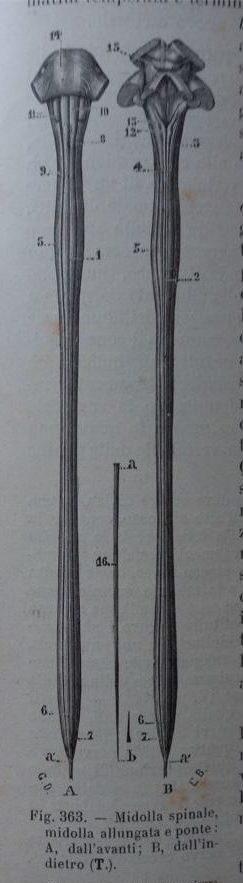 rappresentazione del midollo spinale