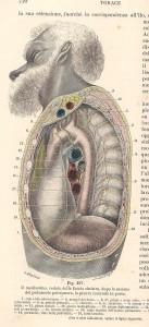 Testut e Jacob, 1906 - cavità mediastinica da sin.
