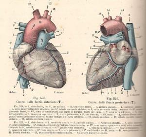 Testut e Jacob, 1906 - il cuore