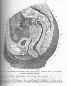 testut, jacob, 1908, pelvi femminile laterale