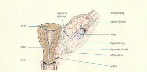 utero e annesso sin. da Atlante Chirurgia, Calne R. e Pollard S.G.
